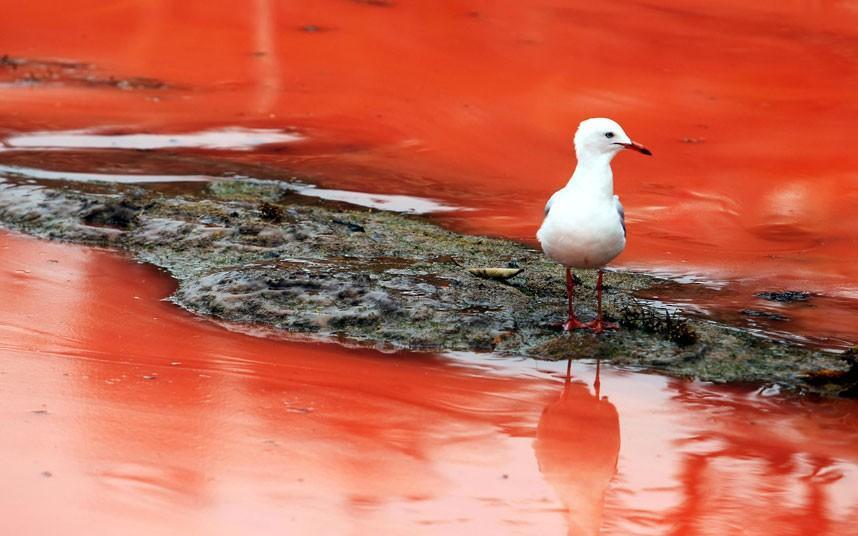 krovavoaliokean 7 Вода на пляжах Австралии окрасилась кроваво красным, напугав отдыхающих