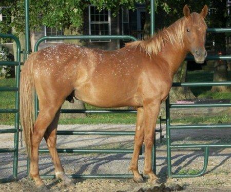 Фото лошади рыже-чубарой масти типа снежок