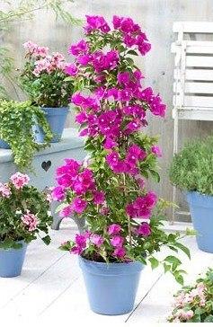 Выращивание бугенвиллии из семян в домашних условиях 88