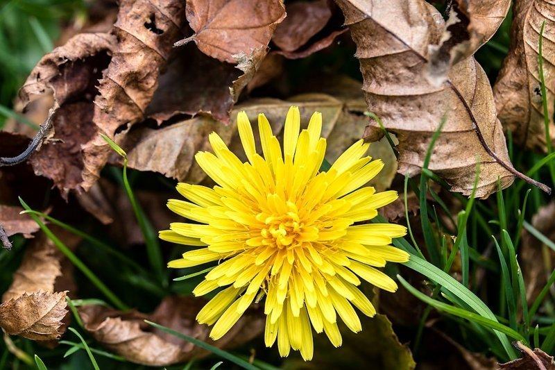 Одуванчик - полностью от цветов до корней съедобное растение выживание, интересное, растения, съедобные