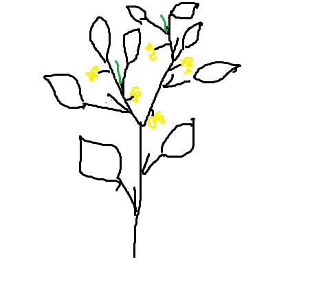 Схема закладки пасынков и кистей на томатах