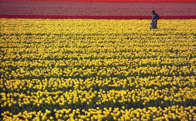 Тюльпановое поле в Нидерландах