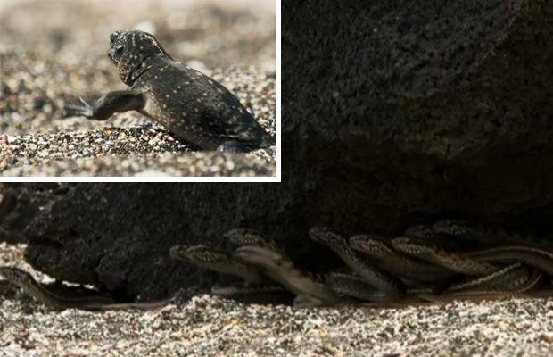 Морская игуана выжила в схватке со стаей змей