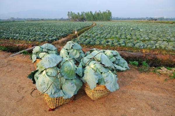 Подготовка капусты к хранению: уборка и сортировка