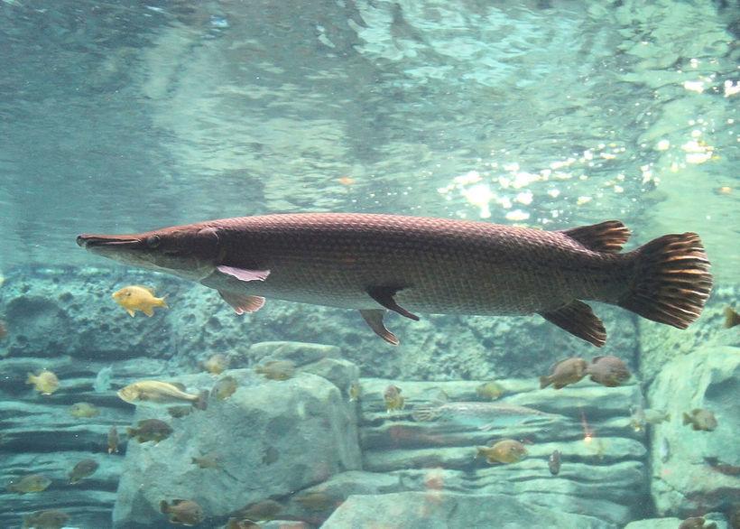 Аллигаторовая щука: огромная древняя рыба, которая может дышать атмосферным воздухом