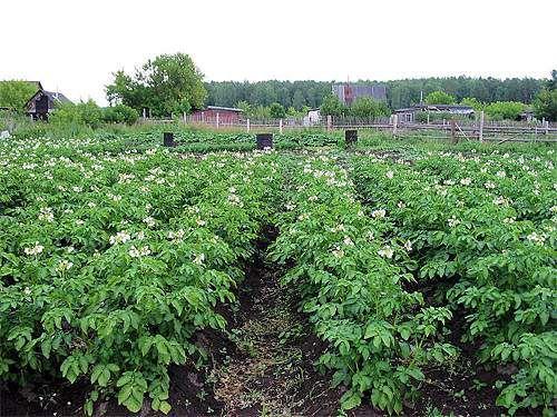 Картинки по запросу огороды картошка картинки