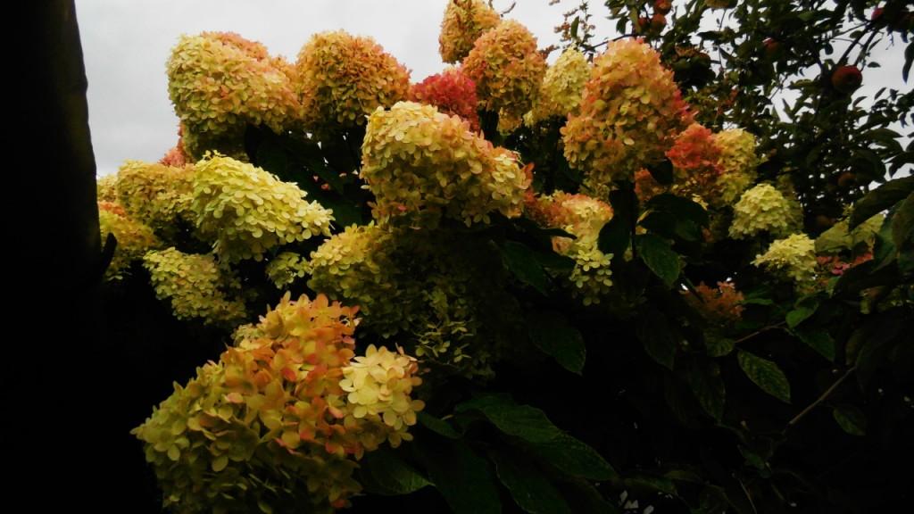 Гортензия, осенью краснеет