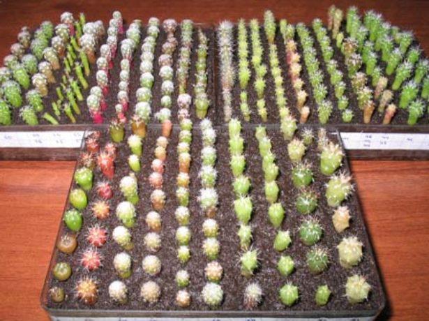 Как сажать семена суккулентов в домашних условиях 35