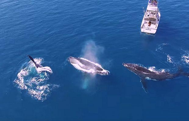 Три любознательных кита рассматривают яхту