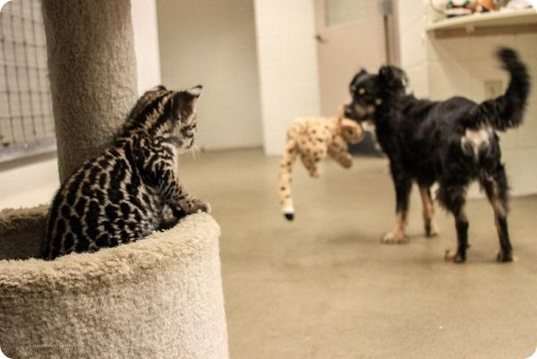 Детеныш оцелота и его друг из зоопарка Цинциннати животные, кот, собака, оцелот