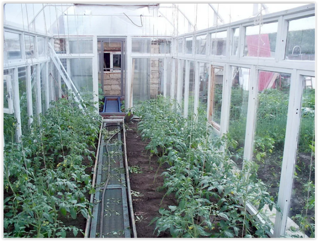 Как я выращиваю томаты без рассады