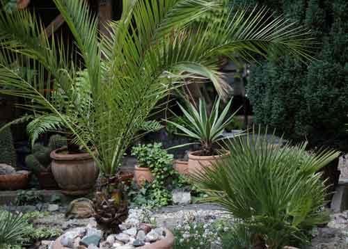 Популярные виды пальм