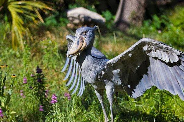 Китоглав с раскрытыми крыльями