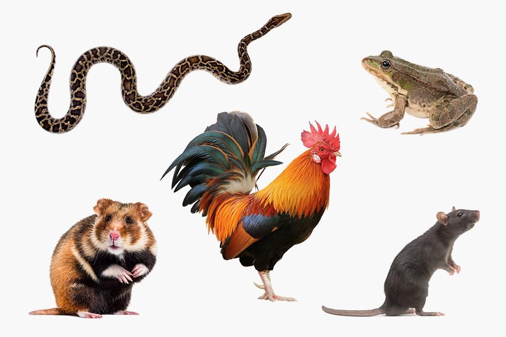 Американский центр по контролю и профилактике заболеваний советует исключить контакты детей допяти лет срептилиями, амфибиями, домашней птицей игрызунами — крысами, хомяками, морскими свинками идругими. Они чаще всего становятся источниками инфекций