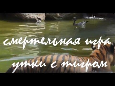 Смертельная игра утки с тигром