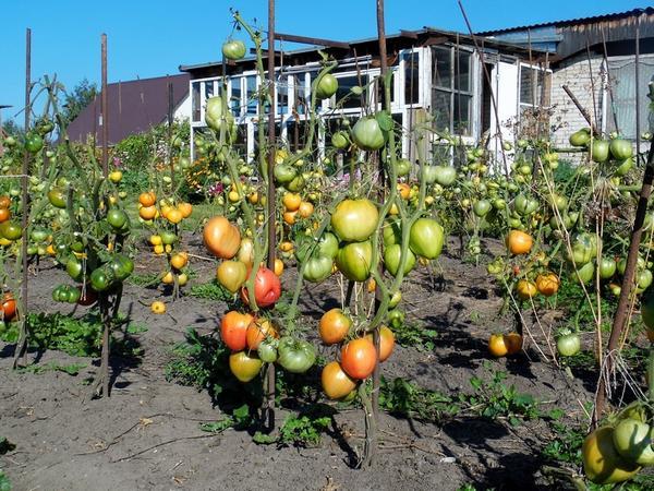 Пляжный сезон для помидоров