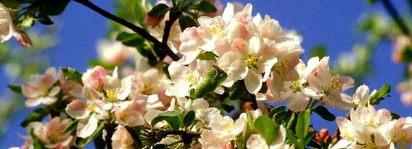 Первое цветение яблонь