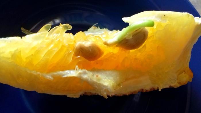 Поэтапно - от семечки апельс…