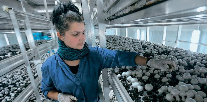 Компания «Грибная радуга» - открыла комплекс по выращиванию шампиньонов в Курске