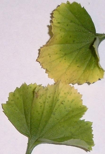Что делать, если на герани желтеют листья?