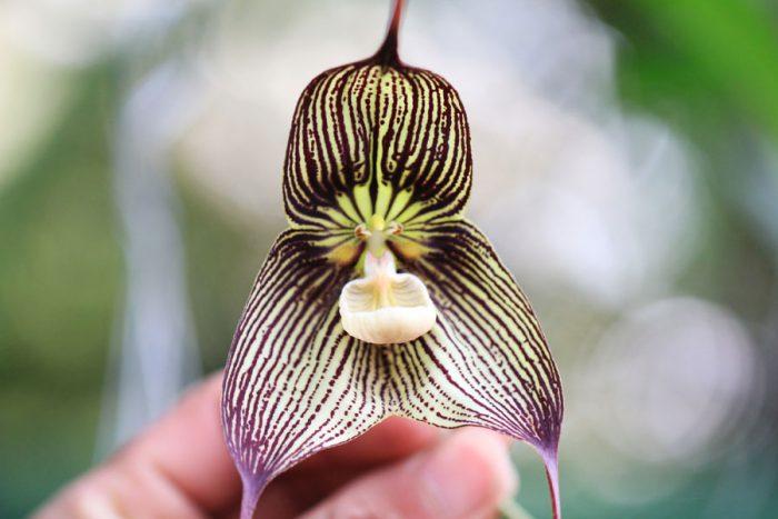 Орхидея Дракула (обезьянья)