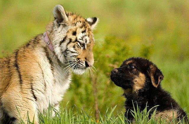 Они решили, что будет здорово, если тигренок будет расти со щенками овчарки. И вот, что из этого вышло