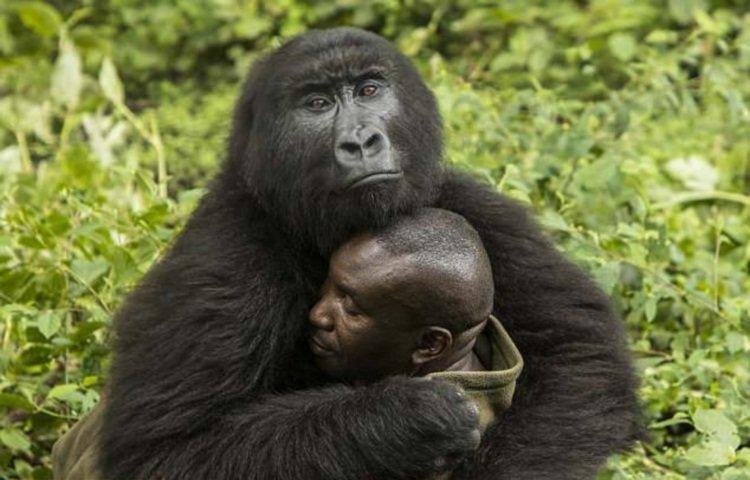 Две дикие гориллы влюбились в своего смотрителя