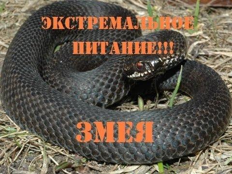 Экстремальное выживание - как приготовить змею!