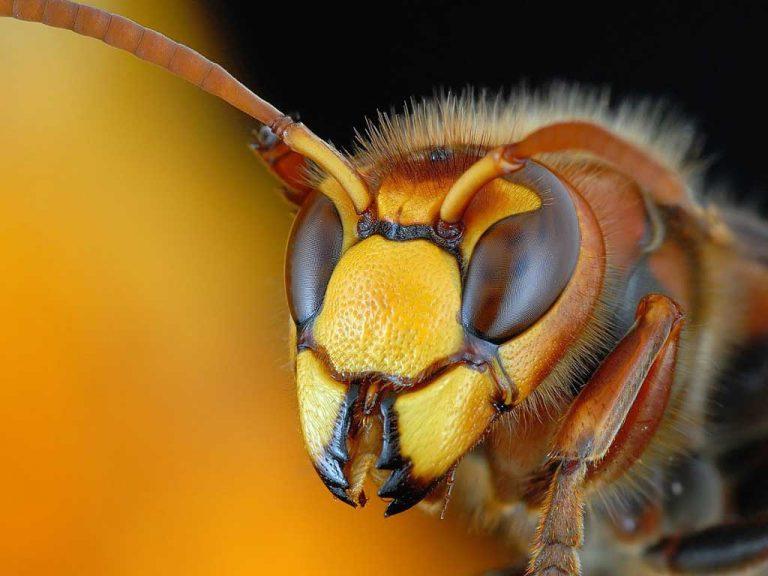 Кто больнее кусается: оса, пчела или шершень