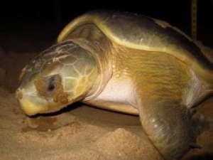 Черепахи могут погибнуть из-за изменения климата