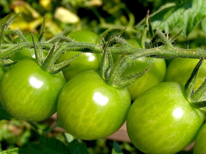 Стоит ли срывать незрелые зеленые помидоры?