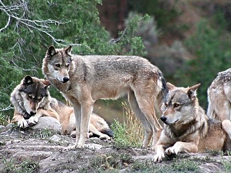 Волки павшие жертвами волков
