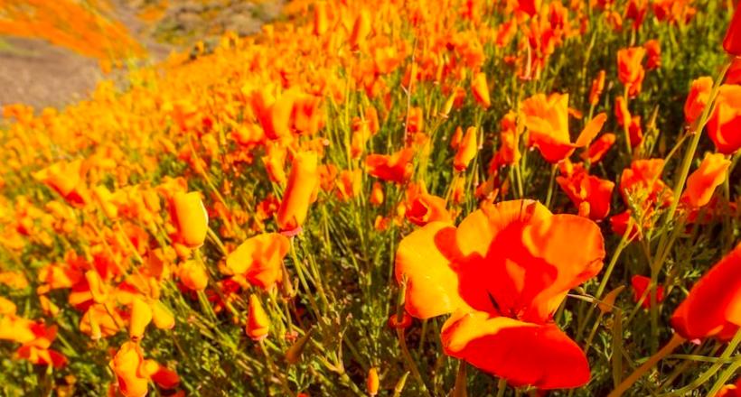 Толпы туристов в Калифорнии: местные холмы «пылают» редким цветением оранжевых маков