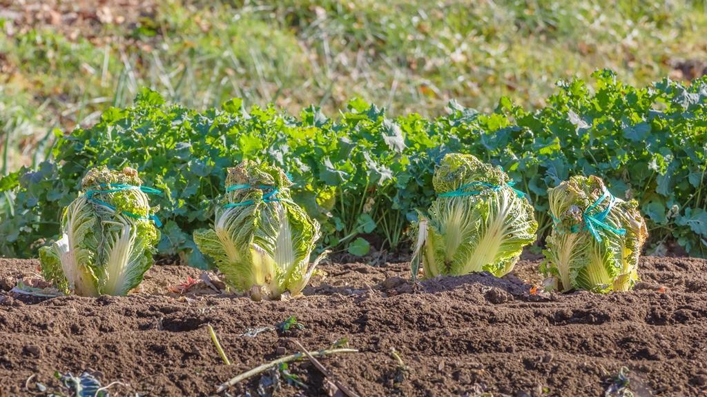 посев пекинской капусты в августе