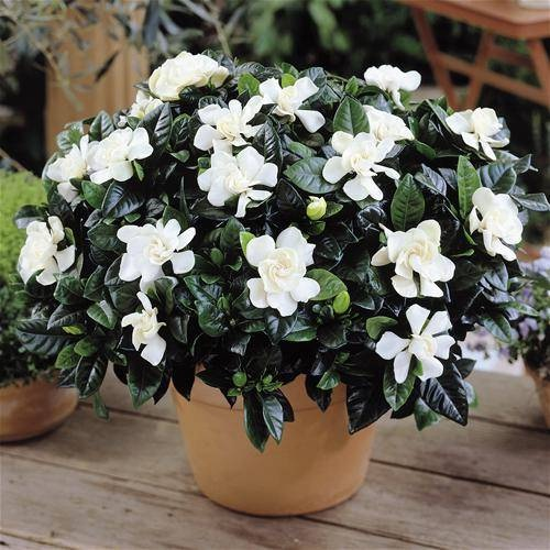 Гардения цветок в домашних условиях