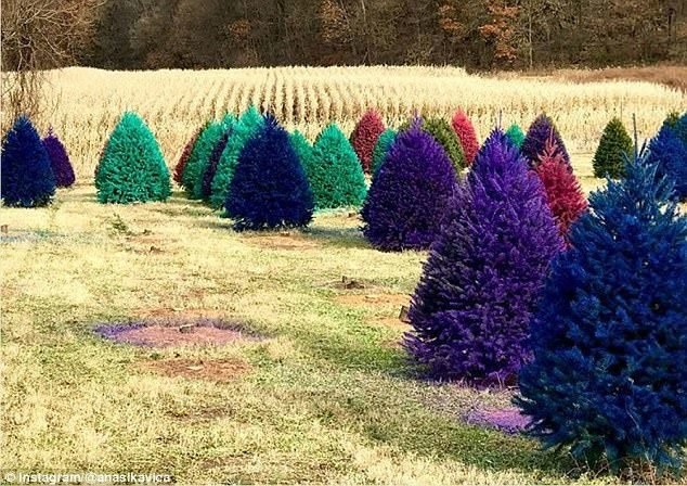 На американской ферме продают разноцветные рождественские ёлки