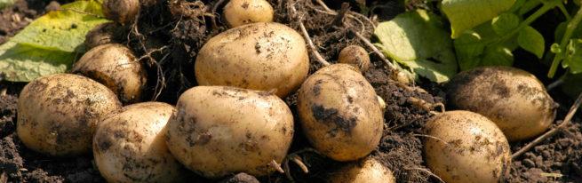 Как сажать картошку, чтобы получить хороший урожай, технологии посадки и выращивания