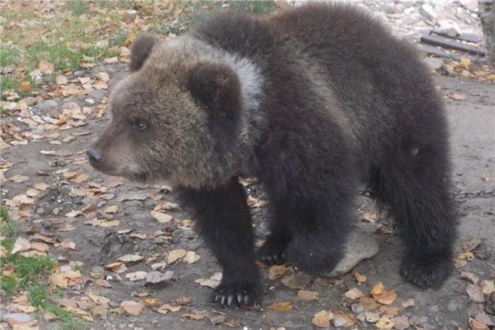 В Красноярском крае медвежон…