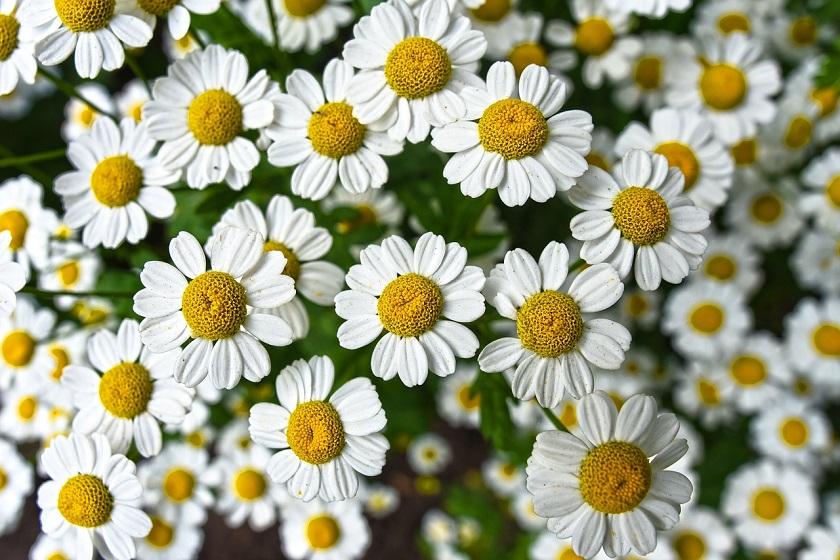 Ромашка — цветок для гадания…