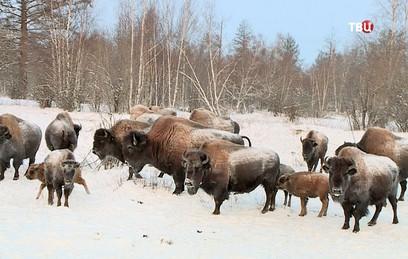 В Якутии стадо бизонов подготовили к жизни на воле