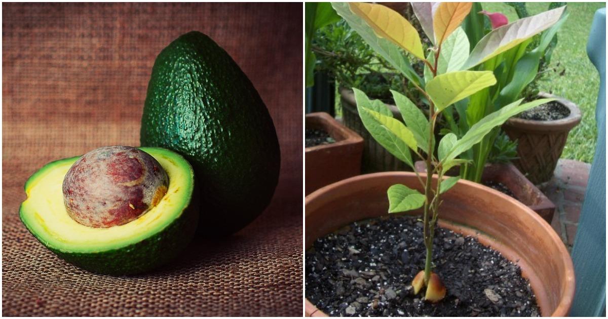 Из косточки в обычных условиях городской квартиры вполне возможно вырастить дерево авокадо