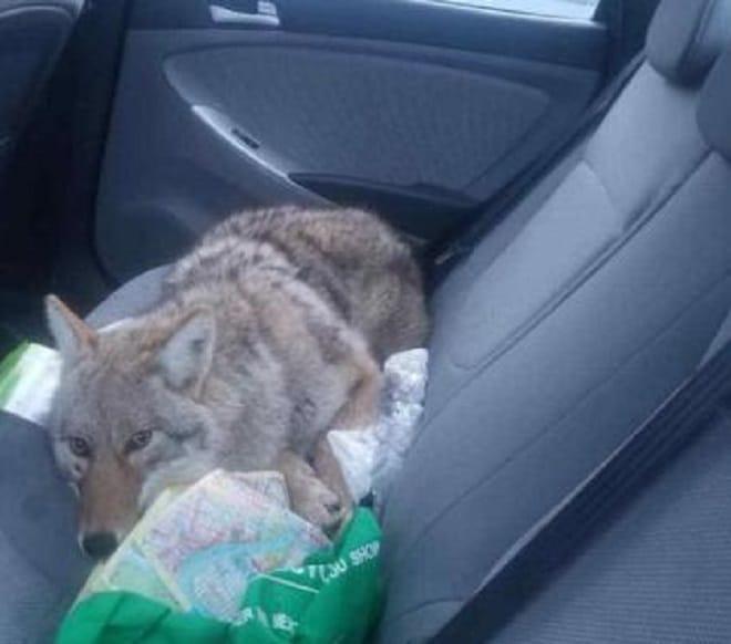 Мужчина сбил собаку и лишь чуть позже узнал, что это совсем не пес