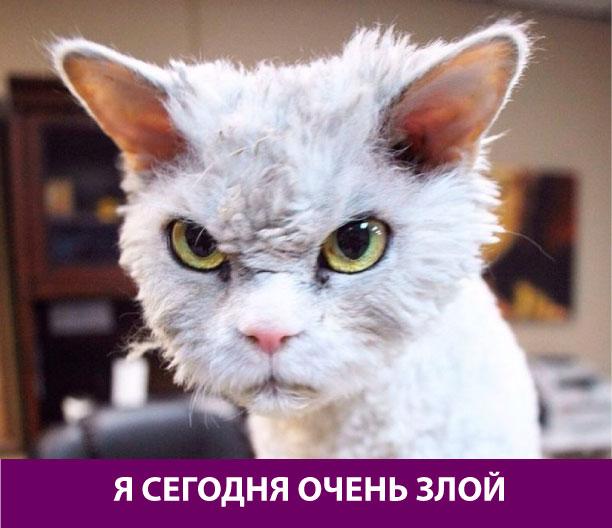 Очень злой кот
