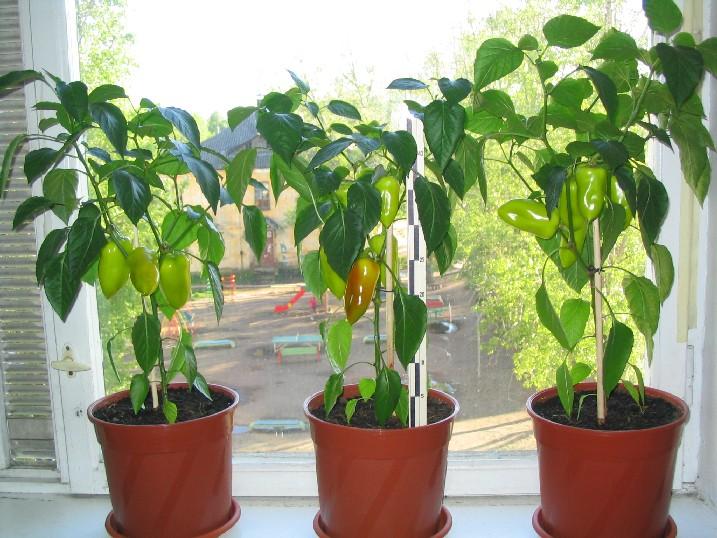 Выращивание перец в домашних условиях