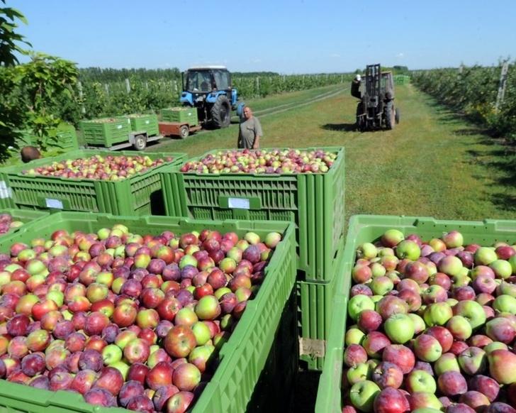 В Ингушетии собран рекордный урожай яблок