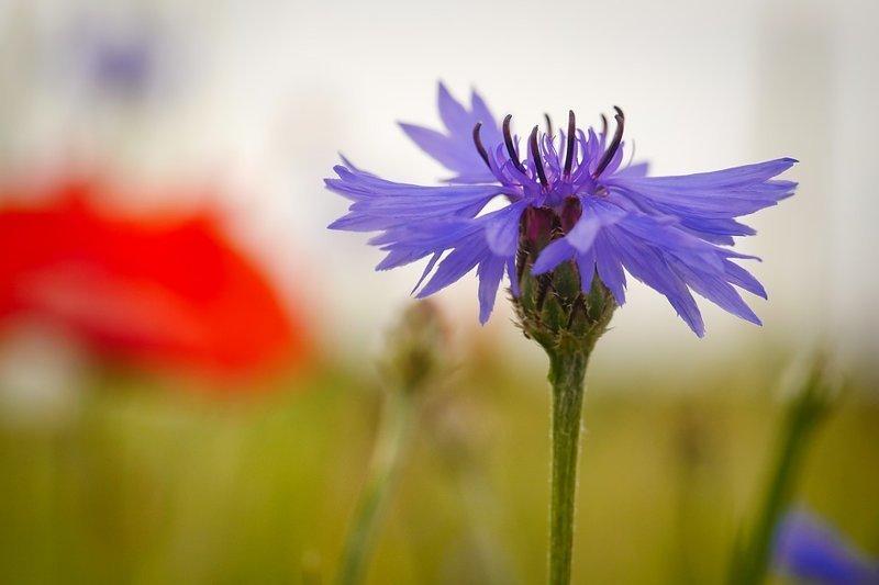 Василек - съедобны только цветки растения выживание, интересное, растения, съедобные