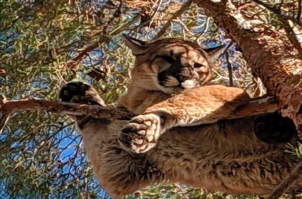Дикая пума залезла на дерево и застряла