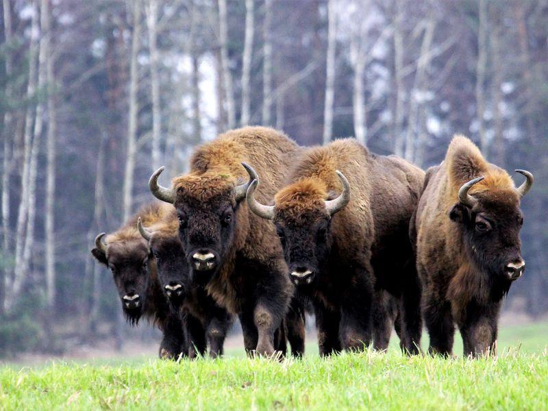 Зубр - могучий потомок древнейших быков