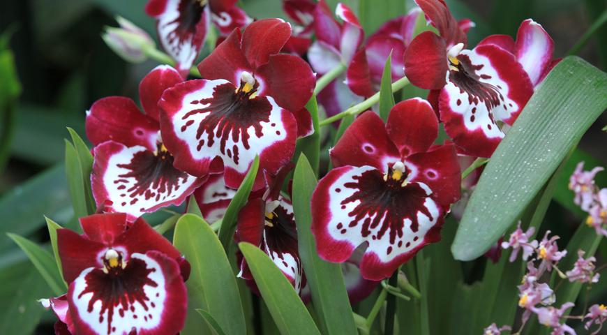 Как спасти засыхающую орхидею