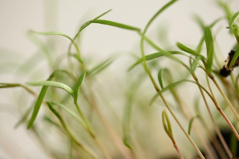 как правильно посадить укроп и петрушку